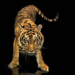 tiger stance