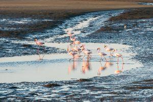 Group of pink and white flamingoes at Namibian Walvis Bay