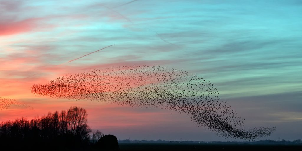 Flight of the starlings in evening light
